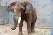 Birmingham Zoo's Bulwagi Needs Life Saving Surgery